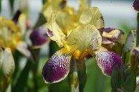 iris_german_yellow_purple